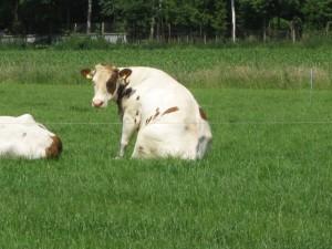 zittende_koe